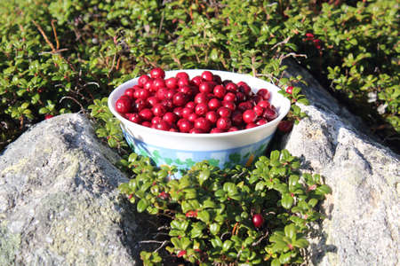 Bright, red lingnonberies picked and ready to eat 스톡 콘텐츠