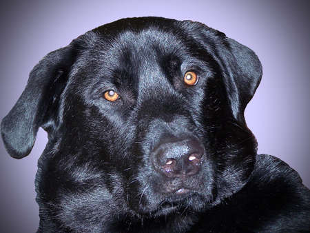 Close up of black labrador retriever dog face Stock Photo - 26007502
