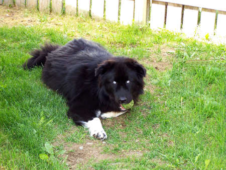 Large fluffy dog with a ball in his mouth photo