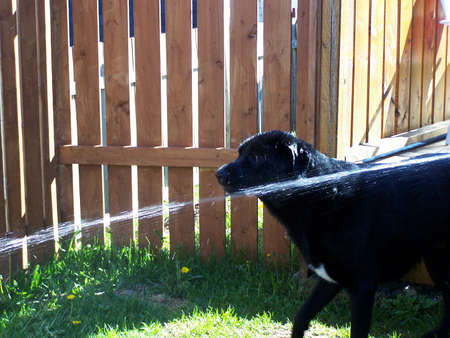 Large dog and a water hose photo
