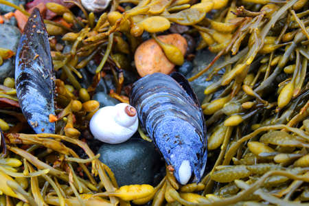 Mussel shells and kelp