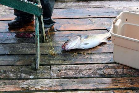 codfish: Fresh codfish on the wharf Stock Photo