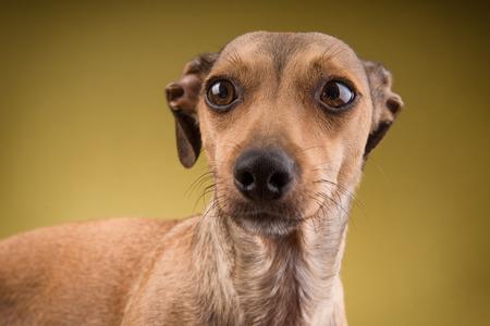 Portrait of small brown short hair dachshund dog