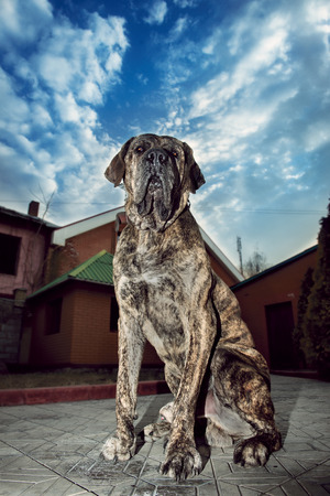 protects: Big dog sitting outdors and protects the house