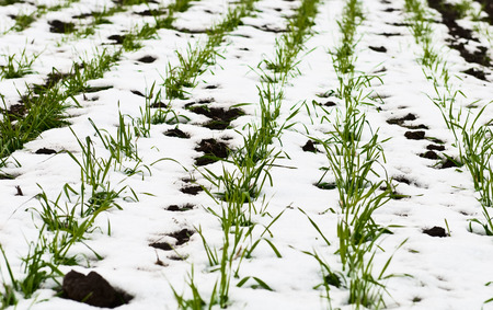 gramineous: agricultural field of winter wheat under the snow Stock Photo