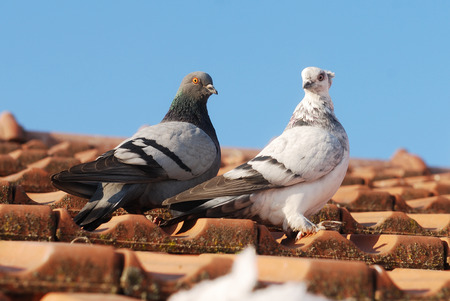 coo: two grey pigeon sitting on the old street roof Stock Photo