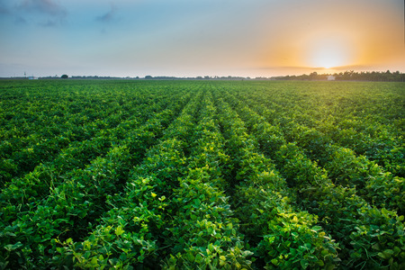 Green bean crop field on the farm before the harvest at sunset time. Agricultural industry farm groving genetically modefided food on field. Stock Photo