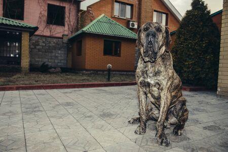 Big brazilian fila dog protecting the property sitting in the yard Standard-Bild