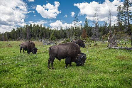 Bizons herd graze on the field at scenic Yellowstone National Park at summer