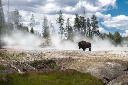 Bizon on geysers at scenic Yellowstone National Park at summer