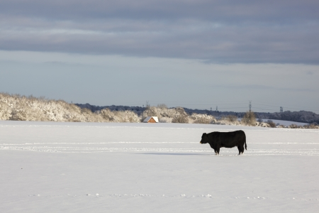 Bull on snowy field looking out for some company photo
