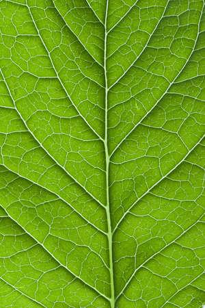 Green leaf macro photo