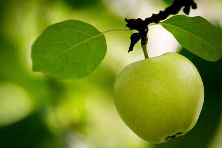 apple orchard: Fresh green apple