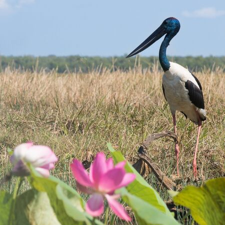 Big bird with blue head standing at the shore of the river with lotus flower in the foreground Banque d'images - 128392861