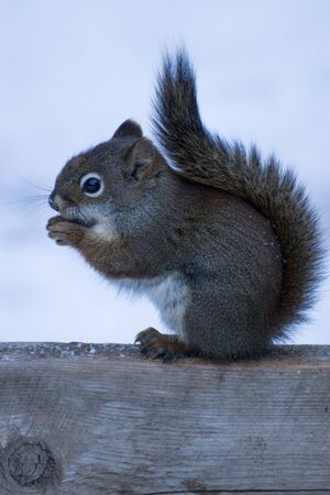 cute squirrel sitting in the winter snow eating a nut Stock Photo