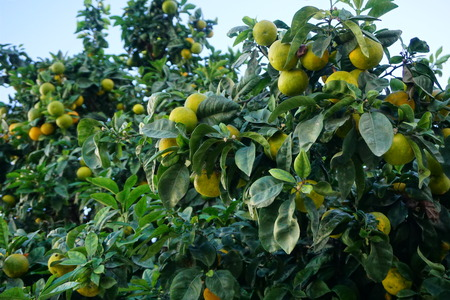 Yellow oranges on a tree in Andalusia Stock Photo