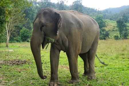 Eating happy elephant in Thailand on a farm