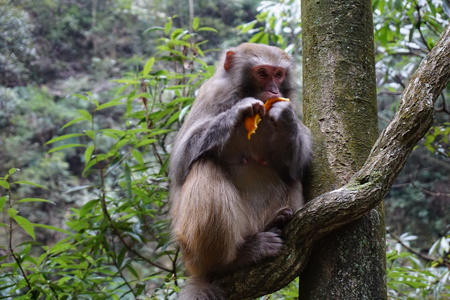 Monkey eating a tangerine fruit on a tree Stock Photo