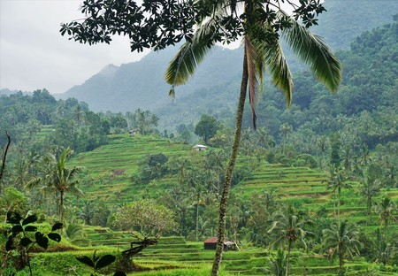 Jungle view very green Rice field Bali with clouds and palm trees