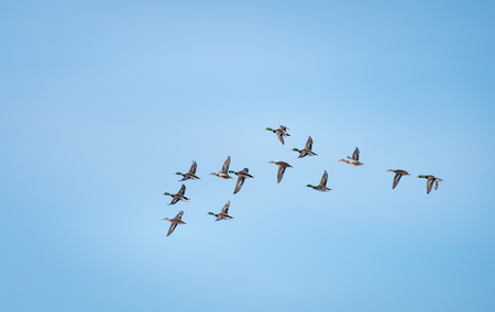 Lot of ducks flying against the blue sky Stock Photo
