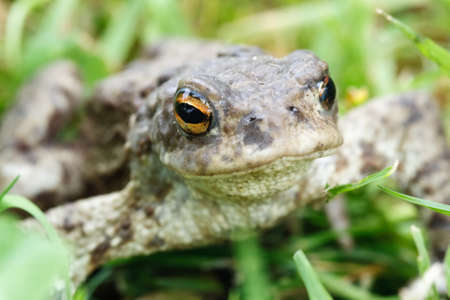 croak: Green frog in the grass focus on eyes Stock Photo