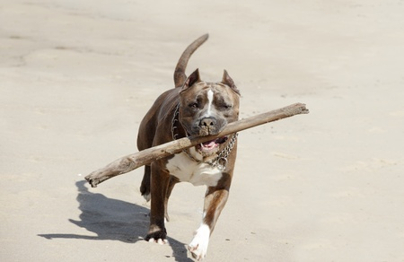 terriers:  American pitbull. Stock Photo