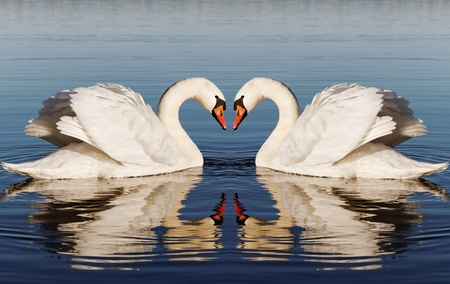 Swan`s heart. Stock Photo