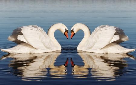 swan pair:  Swan`s heart. Stock Photo