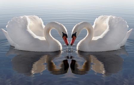 cisnes:  Coraz�n de Swan. Foto de archivo