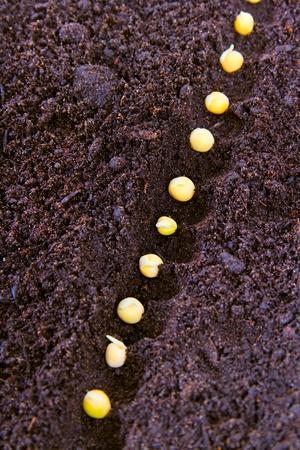 furrow:  Peas in furrow.