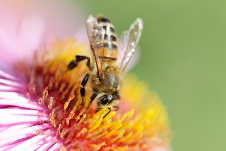 blossom honey: Bee on flower.