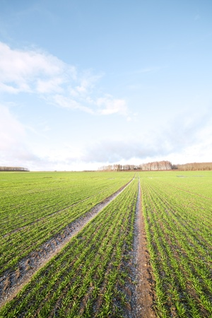 Little snow on wheat field. photo
