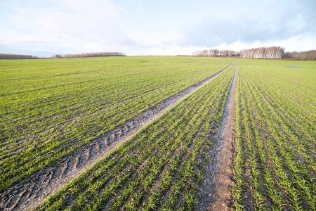 Peu de neige sur champ de bl�.