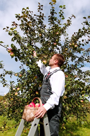 Young man harvesting apples. photo