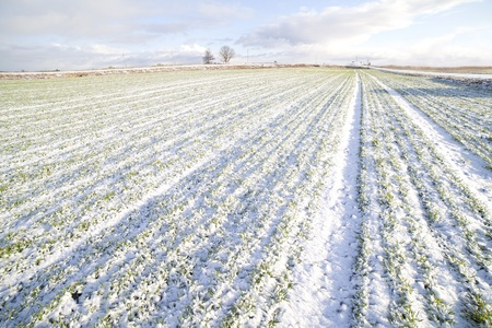 winter field: Wheat field in early winter. Stock Photo