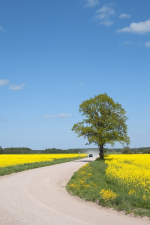 Dusty road in canola field  photo