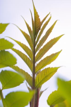 staghorn: Sumac leaves