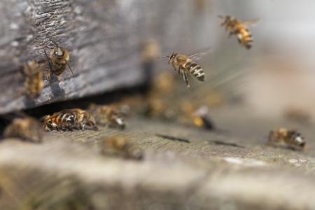 miel de abeja: Las abejas de entrada de la colmena vieja