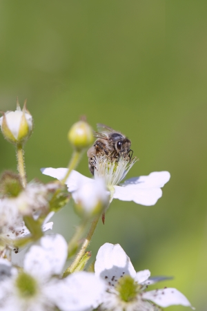 Bee pollinated blooming blackberry   photo