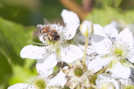 brambleberry: Abeja en flor polinizada BlackBerry