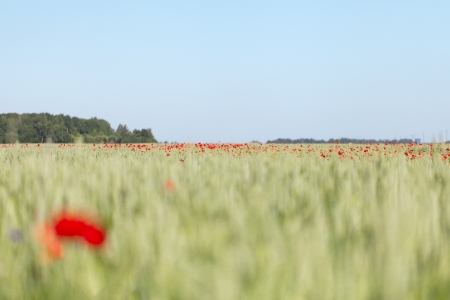 Red poppies in wheat field  photo