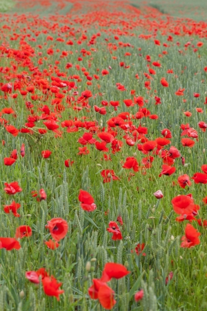 Red poppies in green wheat  photo