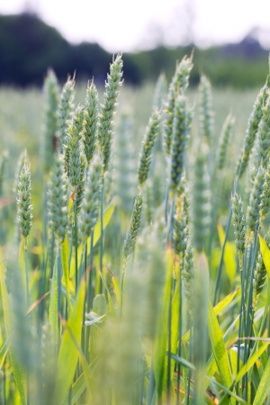 Wheat spikes in field  photo