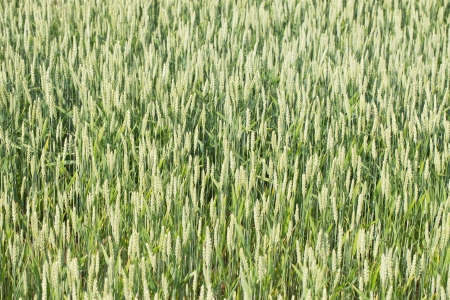 Good wheat in plain field  photo