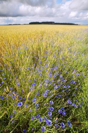 Cornflowers in wheat field Stock Photo - 14465919
