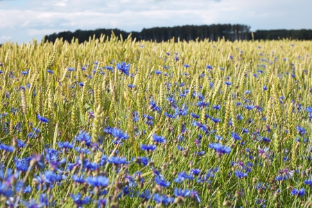 Cornflowers in wheat field  photo