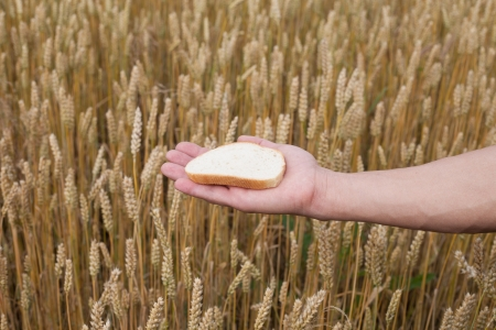 Bread in human hand against wheat field  photo