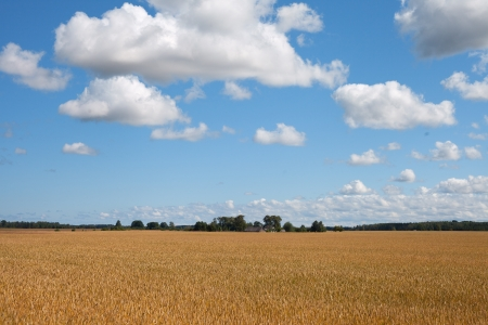 Yellow ripe wheat field under blue field  photo