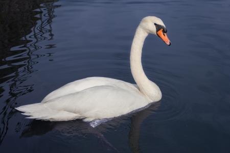 Swan in still water  photo