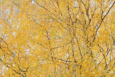 Yellow birch leaves in autumn  photo